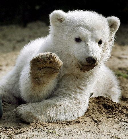 У белого медведя Кнута появится свой памятник.  В память о любимце...