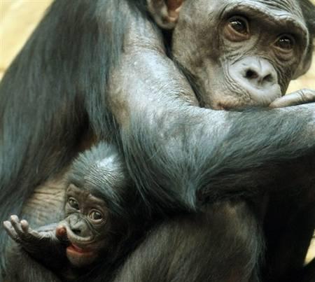 Samica Bonobo z modym