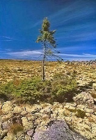 8. Najstarsze drzewo �wiata znalezione w Szwecji