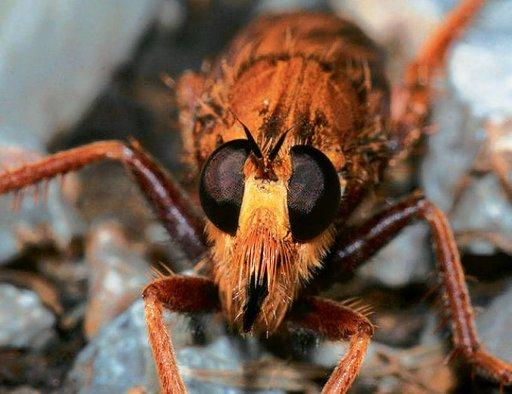 6. �OWIK SZERSZENIAK (Asilus crabroniformis)