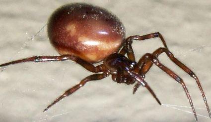 Niebezpieczne paj�ki terroryzuj� Wielk� Brytani�?