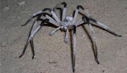 Naukowcy odkryli nowy gatunek paj�ka. Jest olbrzymi!