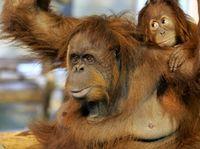 Przedziwny eksperyment. Naukowcy sprawili, że małpa może sterować małpą