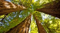 Jak wysokie może być drzewo?