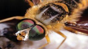 Inwazja pszczół morderców