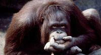 Małpy dokonują świadomych wyborów