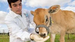Ludzka insulina w mleku krowy?