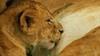 Kochaj�, uwodz� i wprowadzaj� w�asne zasady!Kr�lowe sawanny(ang.: Queens of the Savannah)Premiera: czwartek, 4 listopada, godz. 20:00 na kanale Animal PlanetKolejne odcinki: czwartki, godz. 20:00