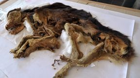 Psie mumie w Peru