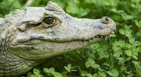 Krokodyl zachorował po połknięciu komórki