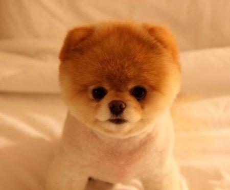 Boo - pies, kt�ry podbi� Facebooka