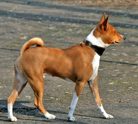 African Dog Breed That Doesn