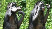 Szympansi język migowy