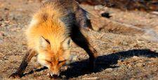 Walka z w�cieklizn� w�r�d dzikich zwierz�t