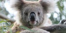 Rzadkim australijskim gatunkom zwierząt grozi wyginięcie