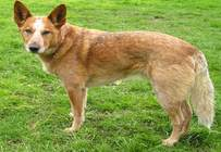 Australijski Pies Pasterski