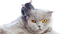Pasożyt zmusza szczura, by szukał kota