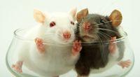 Białe myszki i alkohol