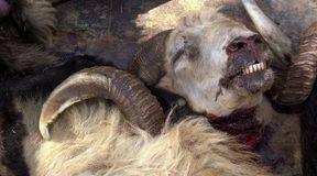 Okrutne praktyki podczas hodowli zwierząt