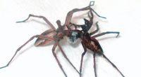 Darowniki przedziwne - wyj�tkowe paj�ki i ich ...