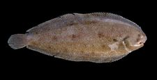 Ryby rzeczne mogą zmieniać płeć