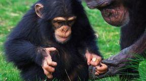 Szympansy potrafią się leczyć
