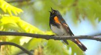 �piew ptak�w zapewnia nam dobre samopoczucie?