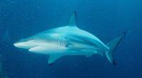 Odkryto nowy gatunek rekina z rodziny ...