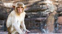 Stworzono małpę z 6 zarodków