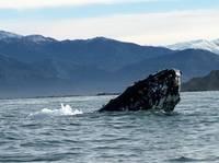 Zastrzelono 33 zbłąkane wieloryby