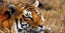 Tygrysy bengalskie na skraju wyginięcia przez kłusownictwo