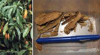 Halucynogenna roślina lecząca z uzależnień