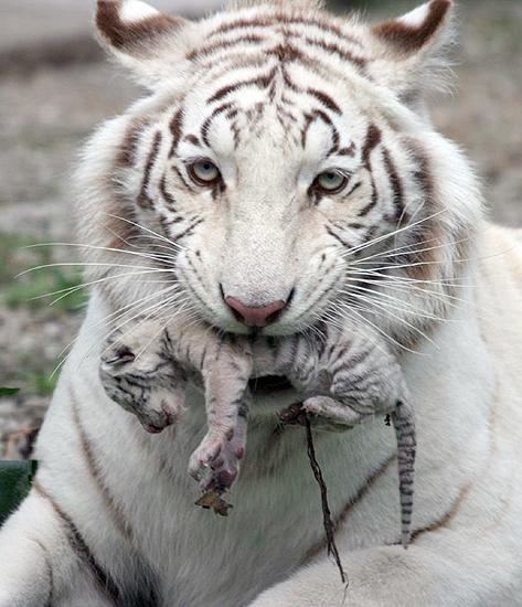 Tygrysica z małym