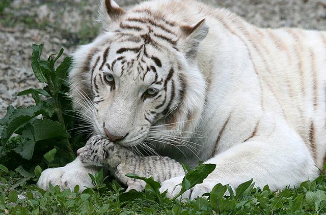 Urocze tygryski pomogą julii tymoszenko? - zdjęcia
