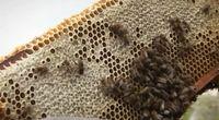 Zespół masowego ginięcia pszczół