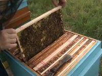 Enigma: Zespół masowego ginięcia pszczół