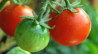 Pomidory wyhodowane na pustyni