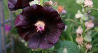 Malwa czarna i jej lecznicze w�a�ciwo�ci
