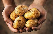 P�torej tony ziemniak�w na dzie� �w. Tekli