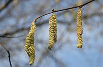 Alergolog: przez ocieplenie czeka nas zmasowany atak pyłków