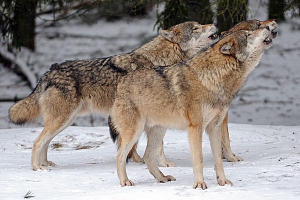 W Jakucji stan wyj�tkowy z powodu wilk�w