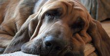 Maj�tek za psie operacje plastyczne