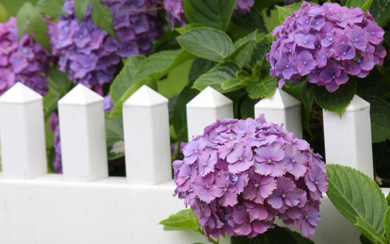 Hortensja - jak uprawiać ten piękny kwiat