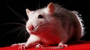 Nieodłączny towarzysz szczur