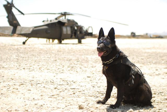 Polski pies bohaterem w afganistanie - zobacz zdjęcia