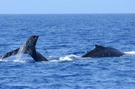 Nietypowe zdarzenie - wieloryb potrącił surfera
