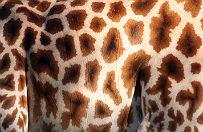 Kolejna żyrafa padła w łódzkim zoo