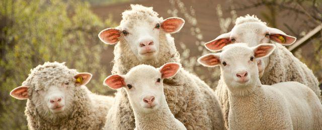 Owce pomogą zwalczać zakażenia