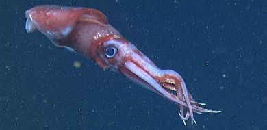 Japońscy rybacy złowili mitycznego krakena
