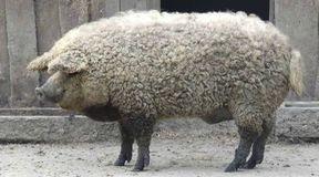 Czy to świnioowca?